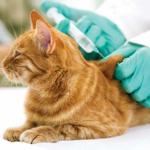 Vacunaciones para gatos